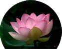 lotus flower detachment