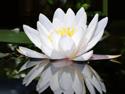 lotuswhite_125